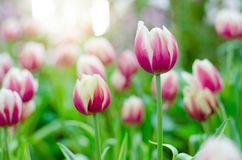 Purpurrote Tulpen in der Show stockfoto