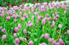 Purpurrote Tulpen in der Show lizenzfreies stockfoto