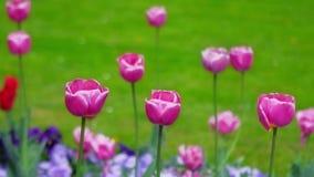 Purpurrote Tulpen, die in den Wind beeinflussen stock footage