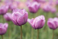 Purpurrote Tulpen in Michigan stockfoto