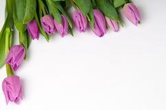 Purpurrote Tulpen mit Exemplarplatz stockfoto