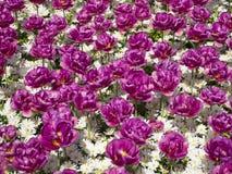 Purpurrote Tulpen und weiße Gänseblümchen stockbilder
