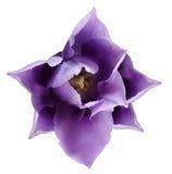 Purpurrote Tulpenblume Weiß lokalisierter Hintergrund mit Beschneidungspfad nahaufnahme Keine Schatten Für Auslegung Stockbilder