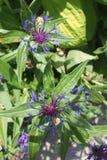 Purpurrote und blaue Blumen vom Raum stockbild
