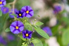 Purpurrote und gelbe Blume lizenzfreie stockfotografie
