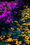 Purpurrote und gelbe Blumen Lizenzfreie Stockfotografie