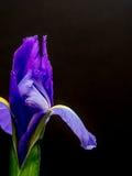 Purpurrote und gelbe Iris auf einfachem schwarzem Hintergrund Stockfotos