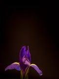 Purpurrote und gelbe Iris auf Schwarzem, Porträtorientierung Lizenzfreie Stockfotografie