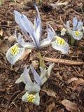 Purpurrote und gelbe Iris Reticulata Plants Blossoming im Frühjahr Lizenzfreie Stockbilder