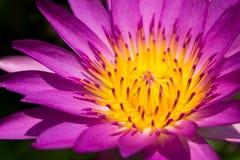Purpurrote und gelbe Lotosblume Lizenzfreie Stockfotografie
