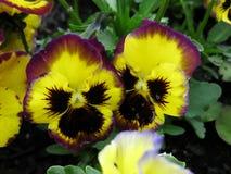 Purpurrote und gelbe Pansies Lizenzfreies Stockfoto