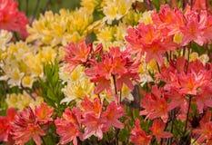 Purpurrote und gelbe Rhododendren wachsen im botanischen Garten Lizenzfreie Stockfotografie