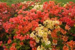 Purpurrote und gelbe Rhododendren wachsen im botanischen Garten Stockfotografie
