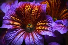 Purpurrote und gelbe tropische Blume Stockbilder
