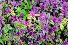 Purpurrote und grüne Blattbeschaffenheit, Blatthintergrund Stockbild