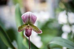 Purpurrote und grüne Orchidee Stockbild