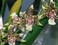 Purpurrote und grüne Orchidee Stockfotografie