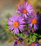 Purpurrote und orange Blumen Lizenzfreie Stockbilder
