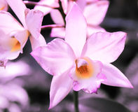 Purpurrote und orange Orchidee Lizenzfreie Stockfotografie