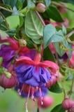 Purpurrote und rosa Fushia-Blumen Stockfoto
