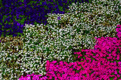 Purpurrote und rosa Petunie und blauer Ageratum Stockfoto