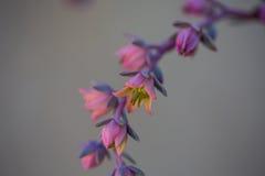Purpurrote und rosafarbene Blume Lizenzfreie Stockfotos
