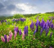Purpurrote und rosafarbene Gartenlupineblumen Lizenzfreie Stockfotos