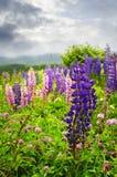 Purpurrote und rosafarbene Gartenlupineblumen Stockbilder