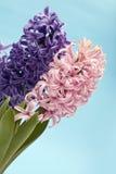 Purpurrote und rosafarbene Hyazinthe Stockbild