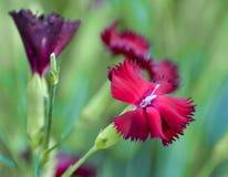 Purpurrote und rote Gartennelken gegen einen gr?nen Hintergrund lizenzfreie stockfotos