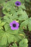 Purpurrote und schwarze Blumen von Pelargonie macrorrhizum stockbild