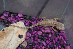Purpurrote und schwarze Felsen mit Gecko stockfoto