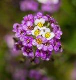Purpurrote und weiße Alyssumblumen Stockfotografie