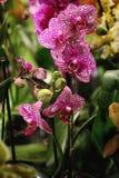 Purpurrote und weiße Blüten der Phalaenopsisorchidee Stockfoto