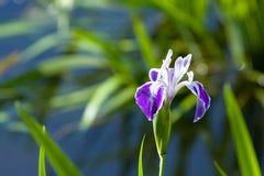 Purpurrote und weiße Blendenblume Stockfotografie