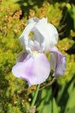 Purpurrote und weiße Blendenblume Stockbilder