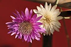 Purpurrote und weiße Blume Stockfoto