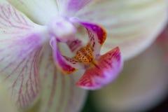 Purpurrote und weiße Blume Lizenzfreie Stockbilder