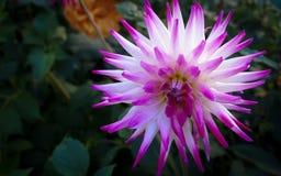 Purpurrote und weiße Blume Lizenzfreies Stockbild