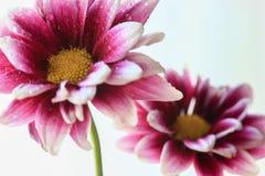 Purpurrote und weiße Blumen Stockbild