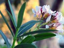 Purpurrote und weiße Blumen Stockfotos