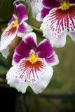 Purpurrote und weiße Blumen Lizenzfreies Stockbild