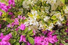 Purpurrote und weiße Bouganvilla-Blumen im Garten Stockfotos