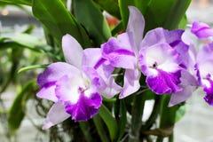 Purpurrote und weiße Farben von Cattleya-Orchideen blühen mit grünem Orchideenblatthintergrund Lizenzfreies Stockfoto
