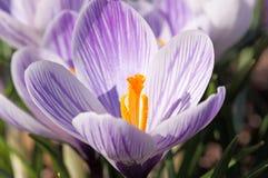 Purpurrote und weiße Krokusblumen lizenzfreie stockfotos