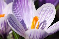Purpurrote und weiße Krokusblumen lizenzfreie stockbilder