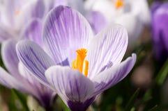 Purpurrote und weiße Krokusblumen stockfoto