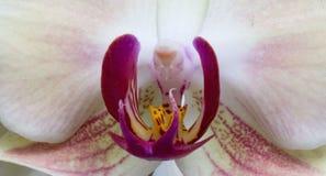 Purpurrote und weiße Orchidee Lizenzfreies Stockbild