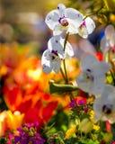 Orchideen und Narzissen Stockfoto