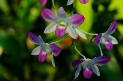 Purpurrote und weiße Orchideen-Niederlassung stockbilder